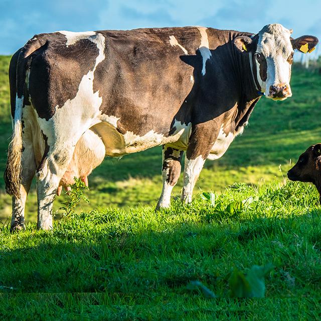 hvor meget spiser en ko